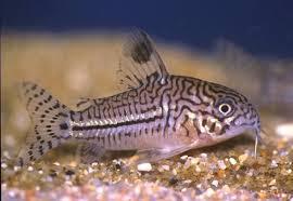 các loài cá dọn bể - cá dọn bể chuột sóc