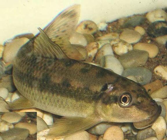 Các loại cá dọn bể - cá dọn bể bống thường