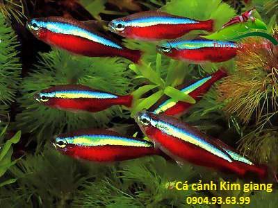 Cách nuôi cá cảnh và kỹ thuật chăm sóc cá cảnh - cá neon vua