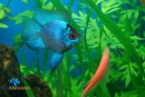 Giới thiệu về đặc điểm của cá phượng hoàng