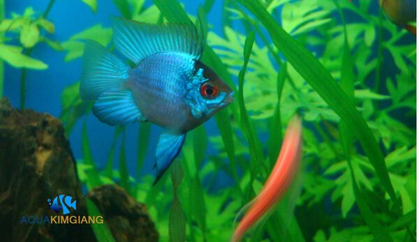 Giới thiệu cá Phượng hoàng