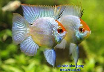 Cá Phượng hoàng lùn xanh