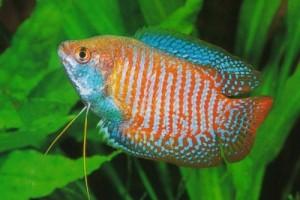Danh mục các loại cá cảnh nước ngọt dễ nuôi