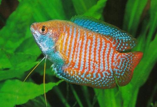 Cá sặc gấm là một trong những loài cá rất dễ nuôi