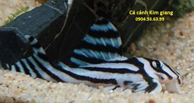 các loại cá dọn bể phổ biến ỏ Việt Nam - Cá Dọn Bể Ngựa Vằn Zebra Pleco