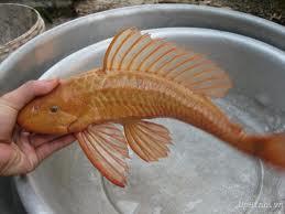 các loại cá dọn bể - cá tỳ bà vàng
