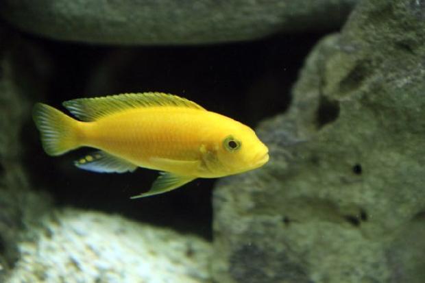 Đặc điểm và kỹ thuật nuôi cá ali vàng