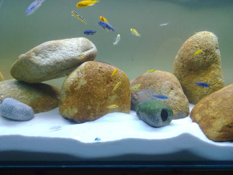 Bể nuôi cá Ali nên trải nền cát trắng và đặt đá tạo chỗ chú ẩn cho cá