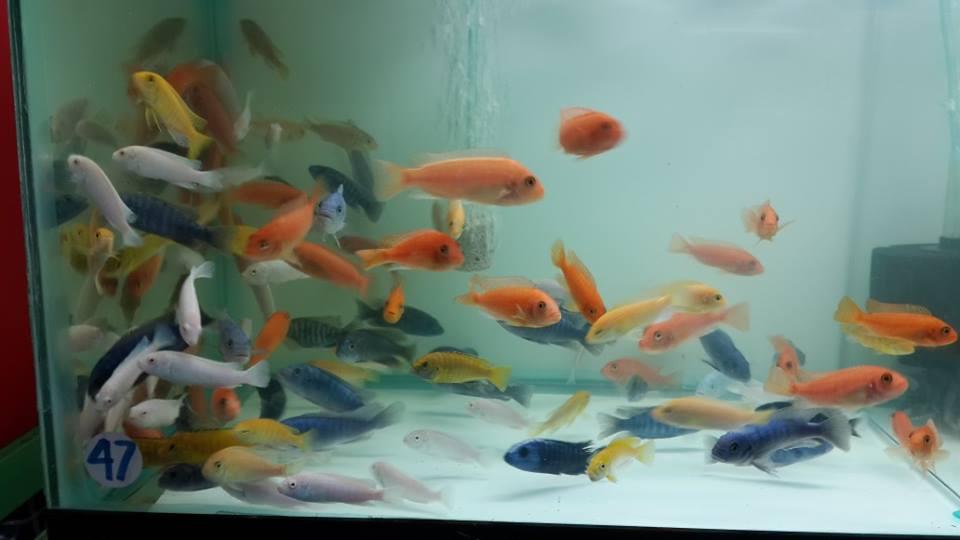 Cá ali ngày càng được nhiều người chơi cá cảnh biết đến và ưa chuộng