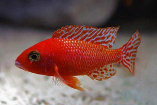 Đặc điểm và kỹ thuật nuôi cá ali đỏ