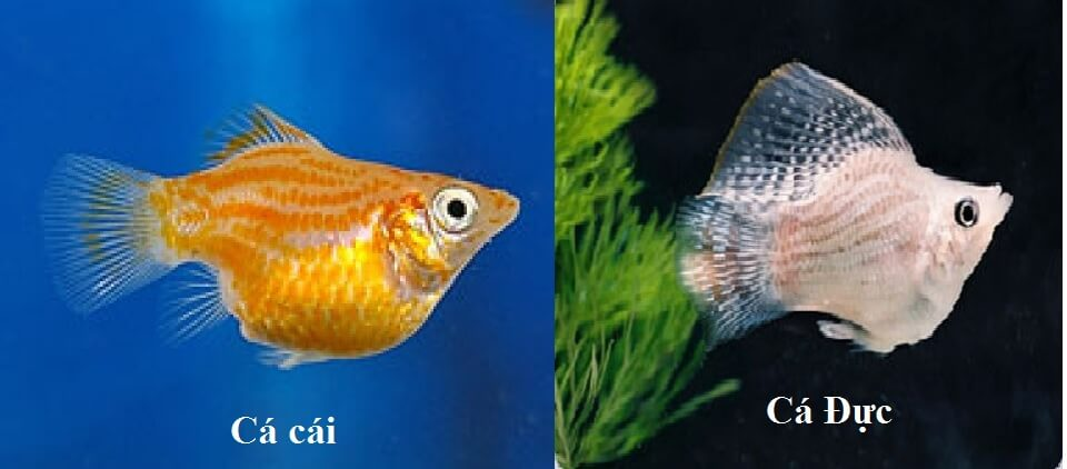Cá bình tích đực và cá bình tích cái