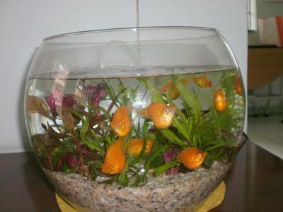 Cá bình tích được nuôi trong bình thủy tinh