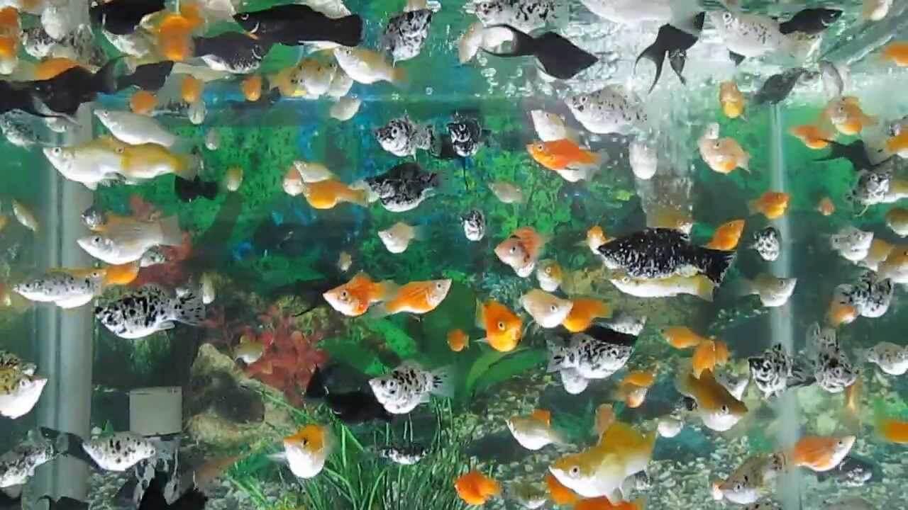 Cá bình tích sống ôn hòa thành từng đàn với các loại cá khác
