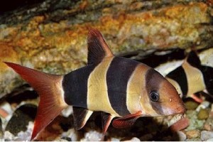 Giới thiệu và các loại cá chuột cảnh