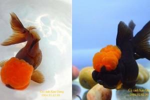 Hình ảnh cá vàng Oranda và Ranchu đẹp