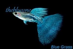 Các chủng loại cá bảy màu đẹp