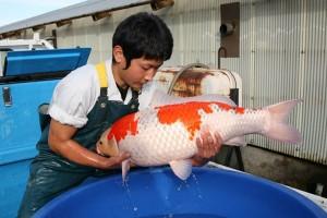 Ngắm cá Koi cực khủng ở trại cá Nhật Bản