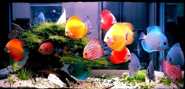 Cá đĩa được coi là nữ hoàng các loài cá