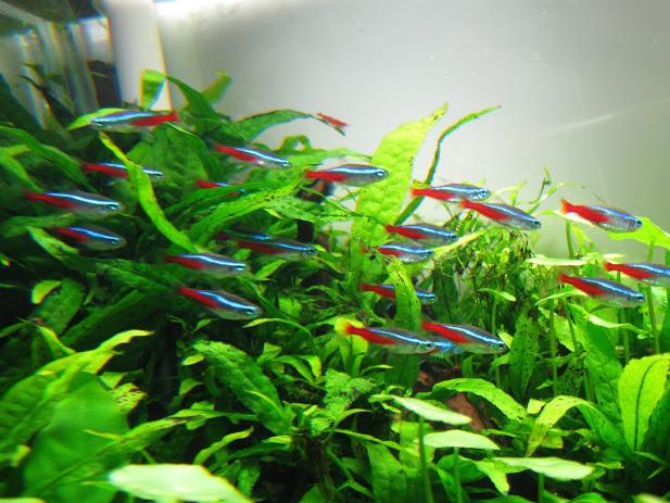 ca-neon thường được nuôi trong các bể thủy sinh