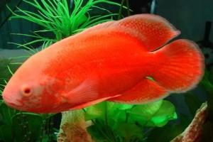 Cá Tai Tượng đặc điểm và kỹ thuật chăm sóc