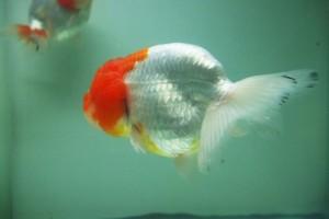 Bệnh thối vảy thối vây cách phòng và trị bệnh cho cá cảnh