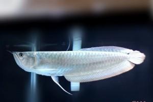 Giới thiệu tổng quan về cá ngân long