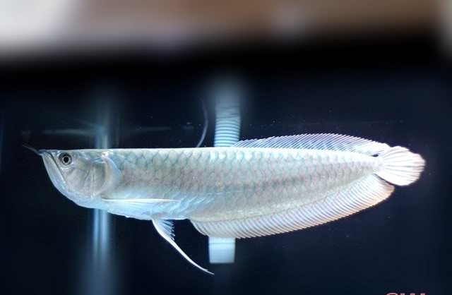 Cá ngân long