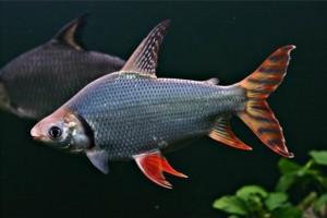 Cá phi phụng loài cá nuôi chung với cá rồng