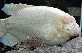 Một chú cá tài phát cực đẹp