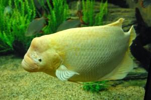Danh mục các loại cá cảnh nước ngọt – Phần 2