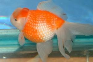 Cá Ngọc trai loài cá vàng đẹp mê hồn