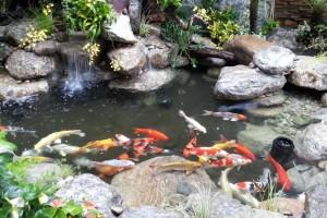 Hệ thống lọc nước hiệu quả cho bể cá chép koi và bể cá xi măng