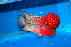 Giới thiệu tổng quan về Cá La Hán