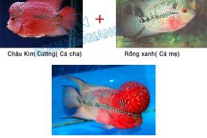 Cá la hán Kim Cương – Cơn sốt mới cho thị trường cá cảnh