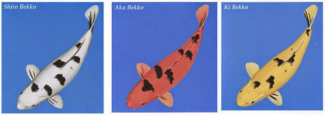 Cá chép KOI BEKKO
