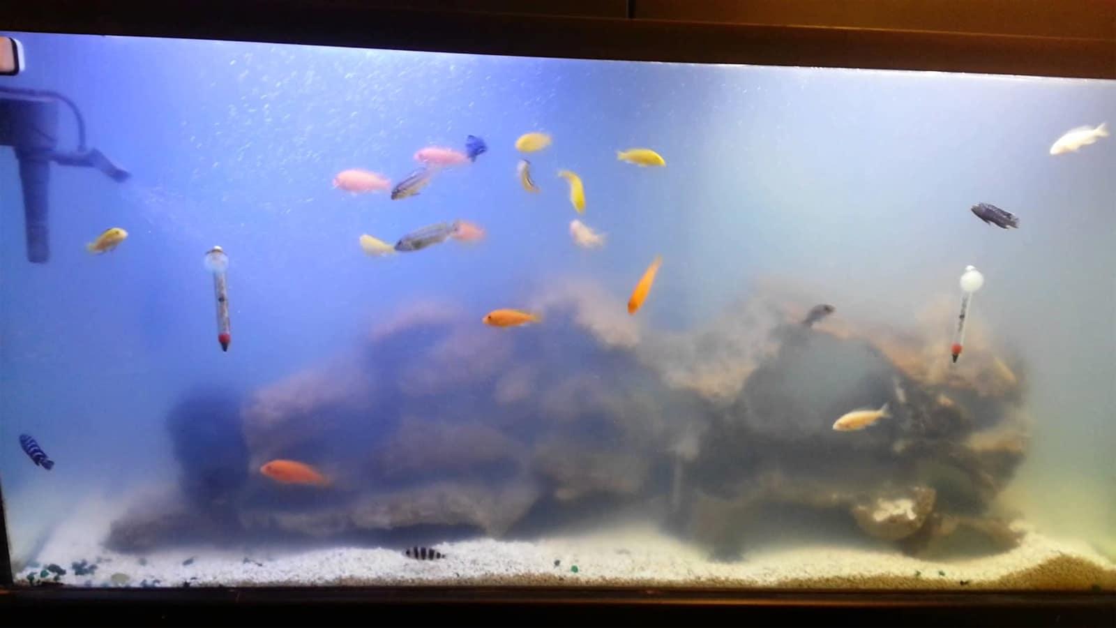 Nước bể cá bị đục do nấm