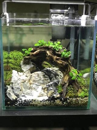 Rêu minifiss trải nền cho bể cá cảnh