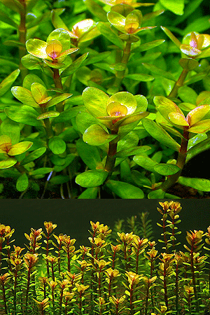 Cây vảy ốc - cây thủy sinh vảy ốc