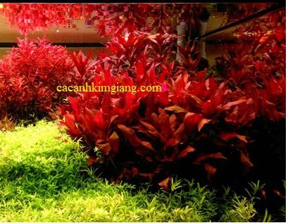 Cây đại hồng diệp, cây thủy sinh đại hồng diệp