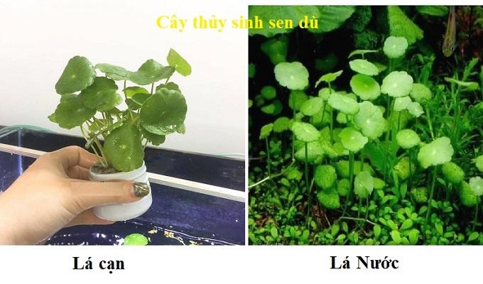 Cây sen dù thủy sinh- cây thủy sinh dễ trồng dễ chăm sóc