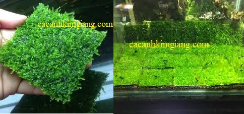 rêu mini taiwan thủy sinh