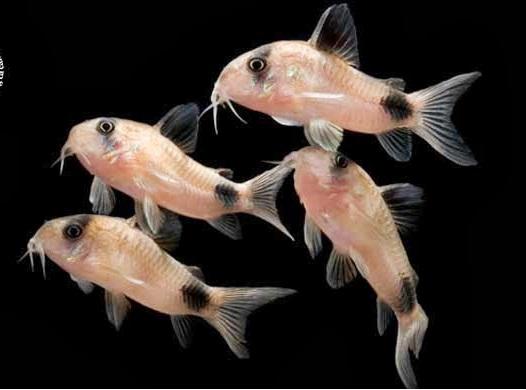 Phân loại các dòng cá chuột