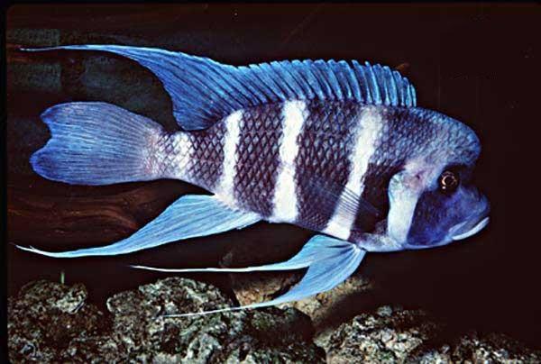 Đặc điểm và sự phân loại cá đầu bò