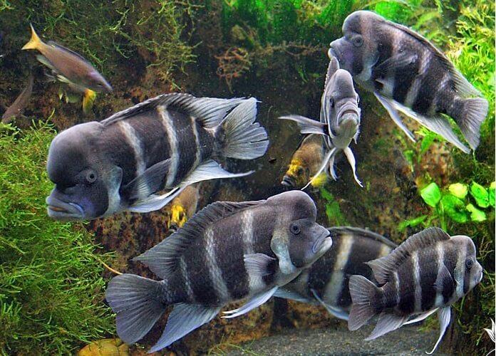 Phân loại cá đầu bò