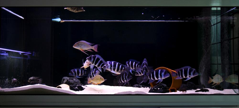Một bể cá Đầu Bò khá đẹp