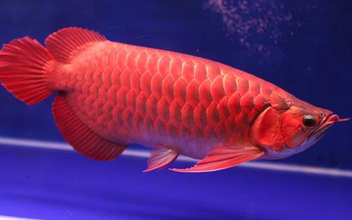Cá rồng - Vua của các loại cá cảnh nước ngọt