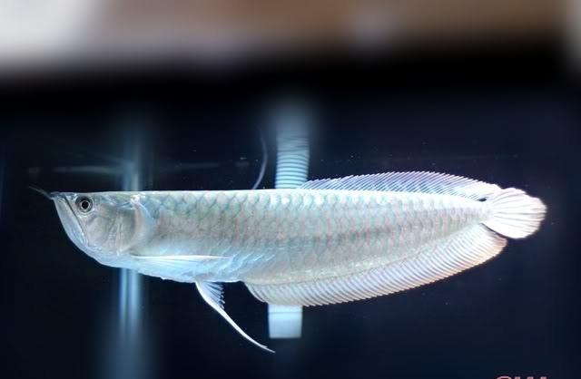 cá ngân long với màu trắng bạc đặc trưng