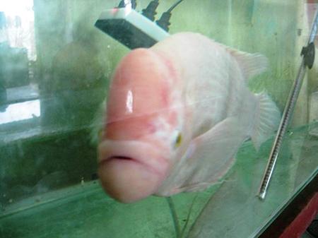 Bắt được cá Tài Phát cực quý hiếm trên sông Hồng