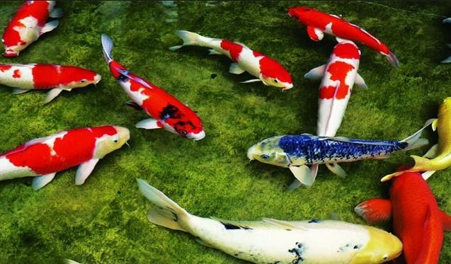 Cá chép koi ngày càng được ưa chuộng