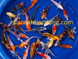 Cá koi mini , bán các loại cá koi size nhỏ
